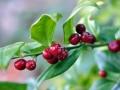 sarcococca-ruscifolia